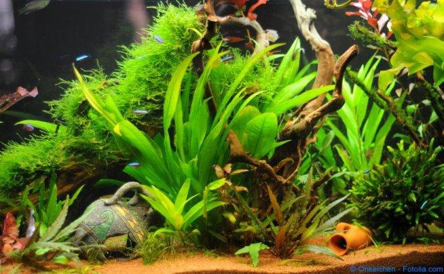 Aquariumsspflanzen